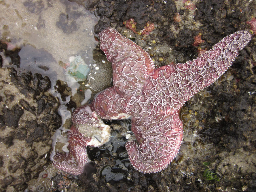sea stars, sea star die-off, sea stars Pacific Ocean, Sea Star Associated Densovirus, SSaDV, marine life, marine creatures, Oregon State University, Bruce Menge, Oregon, California