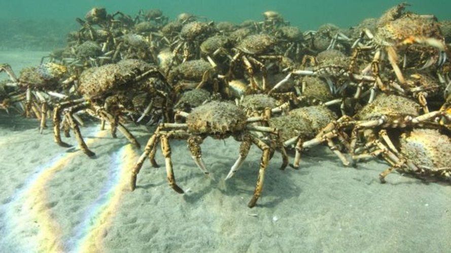 australia, giant spider crabs, crab migration, giant crab horde, melbourne, Port Phillip Bay, marine life, marine animals, sea life