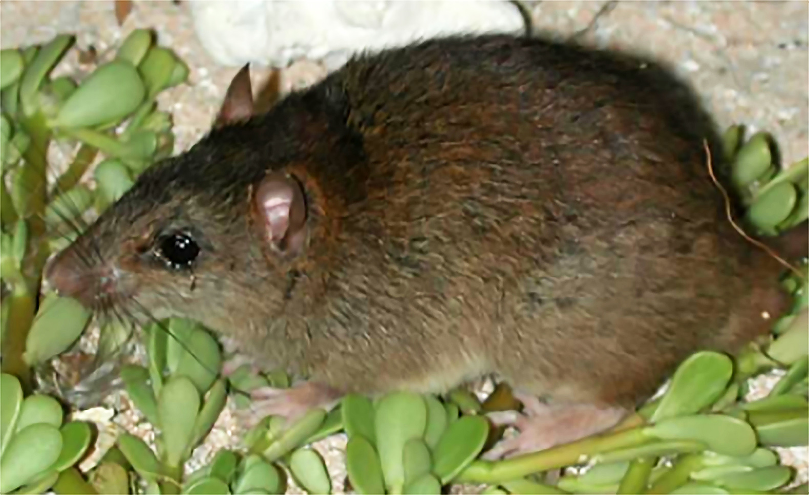 First mammal species succumbs to climate change