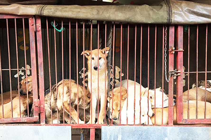 china, yulin, yulin dog meat festival, animal abuse, animal torture, eating animals, meat consumption, eating dog meat, animal rights, rural China, animal rights protests, humane society, humane society international, animal hope and wellness foundation, the compassion project