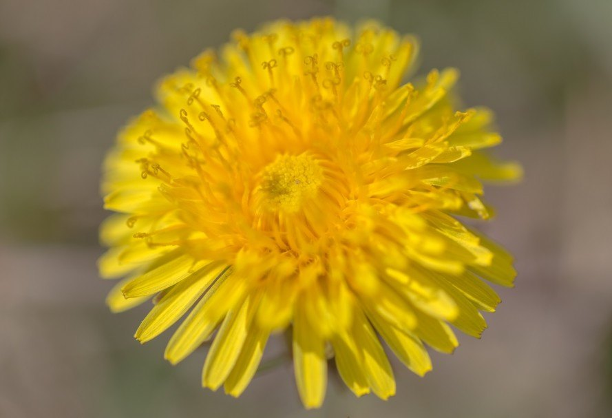 Continental Tire Looks To Dandelions For A More