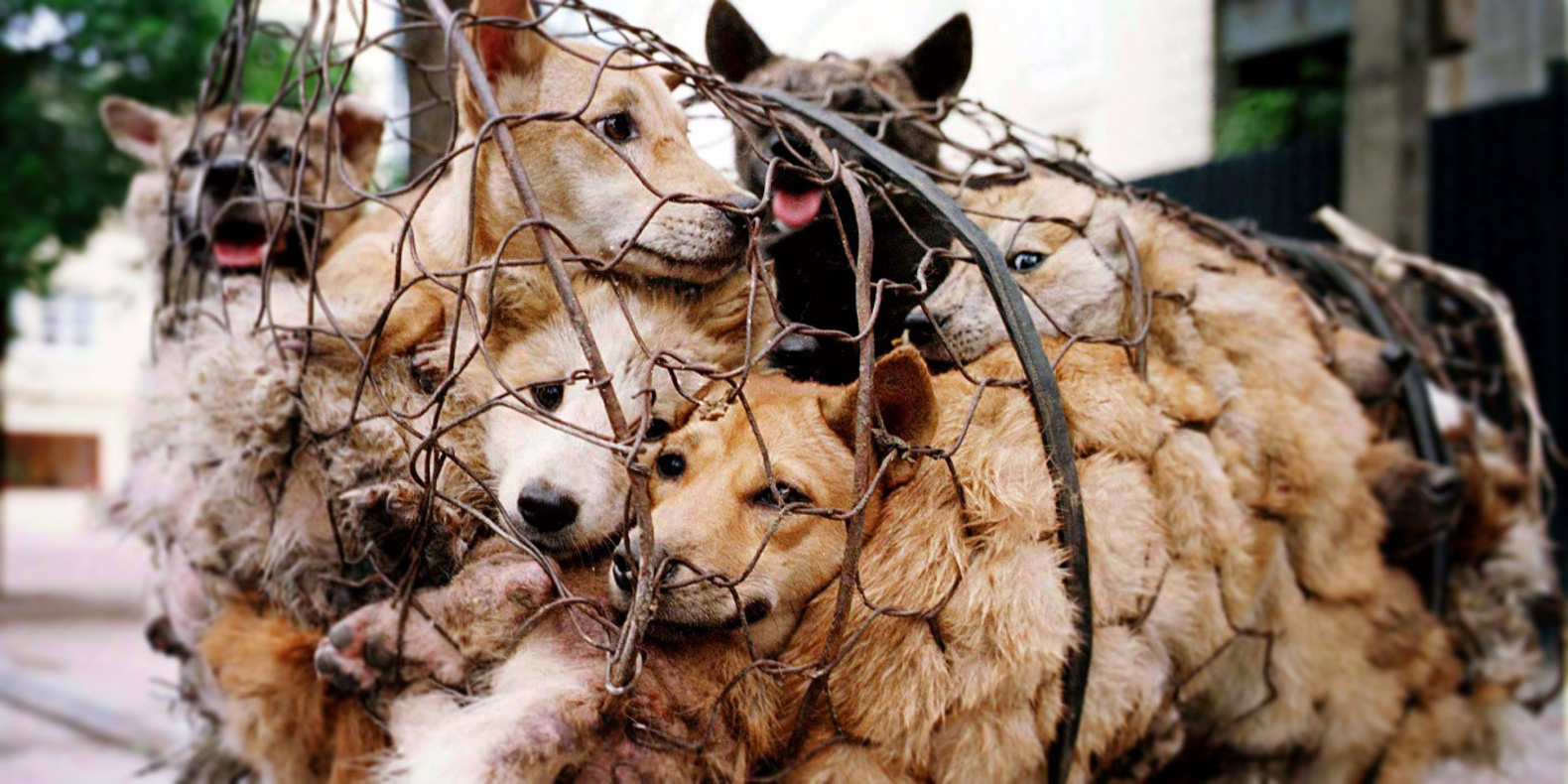 China launches brutal dog meat festival this week despite worldwide protests