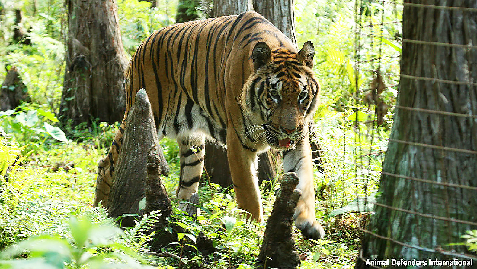 Watch Hoover the tiger released into nature after 12 dreadful years in a circus cage