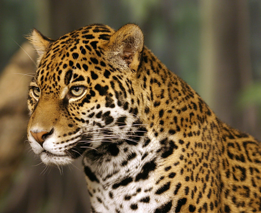 Jaguars, jaguar, Juma, Brazil, Rio 2016, 2016 Olympics, 2016 Olympic games, torch relay, Olympic torch relay, animals, animal rights, animal death