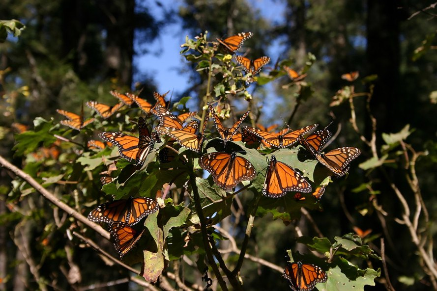 Monarch butterflies, monarch butterfly, monarch, monarchs, butterflies, Mexico, monarch butterflies Mexico, illegal logging, deforestation, monarch butterfly rebound