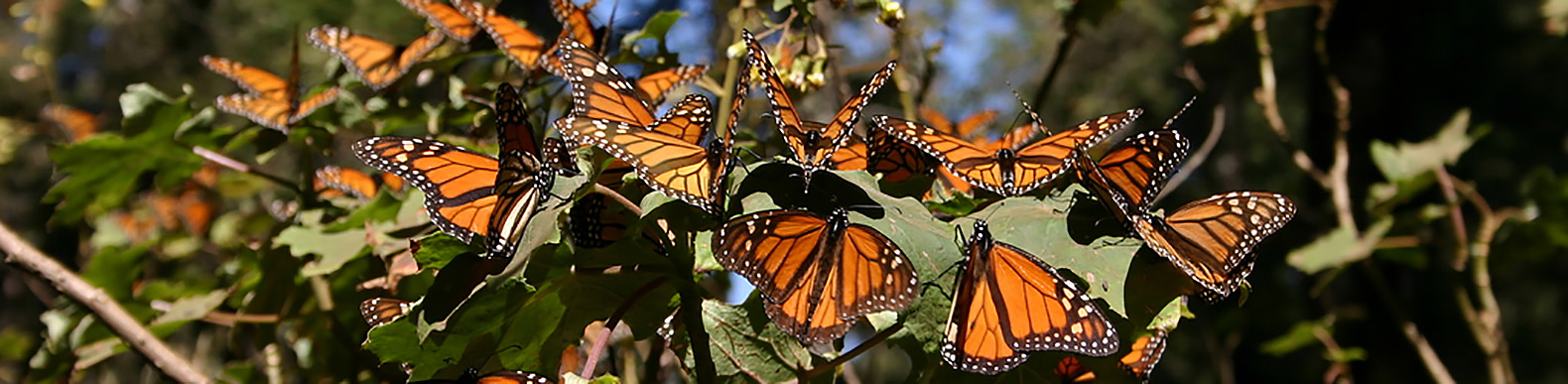 Monarch butterfly populations are multiplying