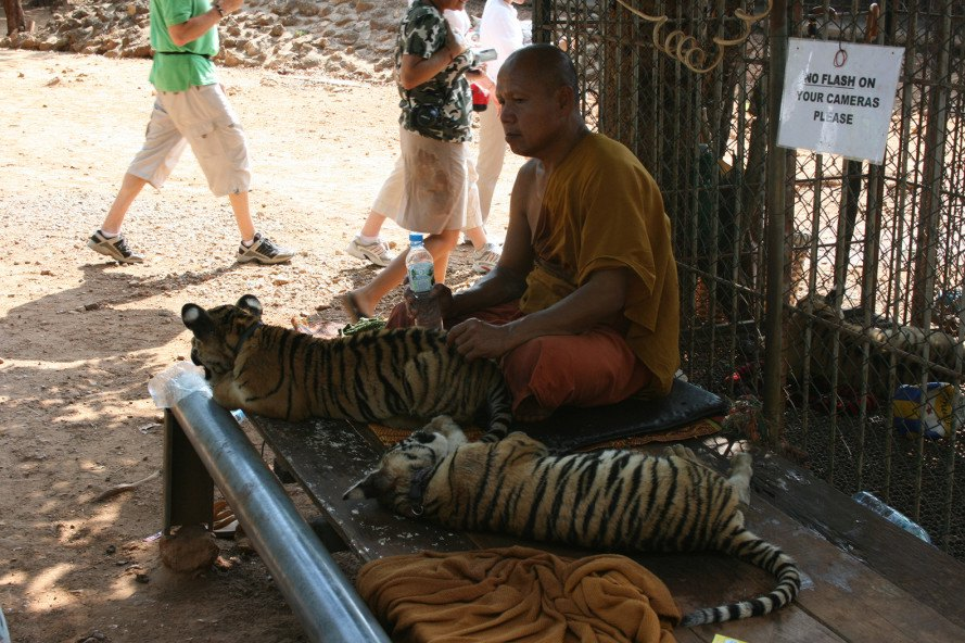 Thailand Tiger Temple, tigers, Thailand, animals, wildlife, wildlife trafficking, cubs, tiger cubs