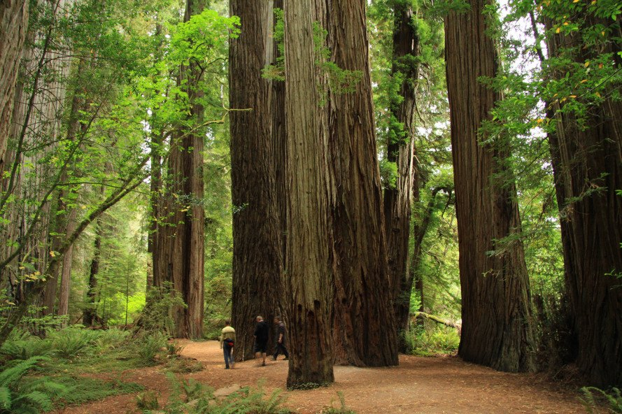 California Redwood Trees Sap Up More Co2 Than Others