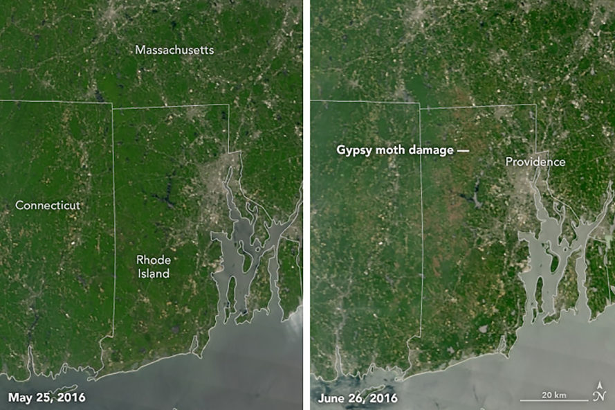 Gypsy moth caterpillar, caterpillar, caterpillars, caterpillar infestation, caterpillar population boom, New England, Rhode Island, NASA Earth Observatory, NASA, satellite images