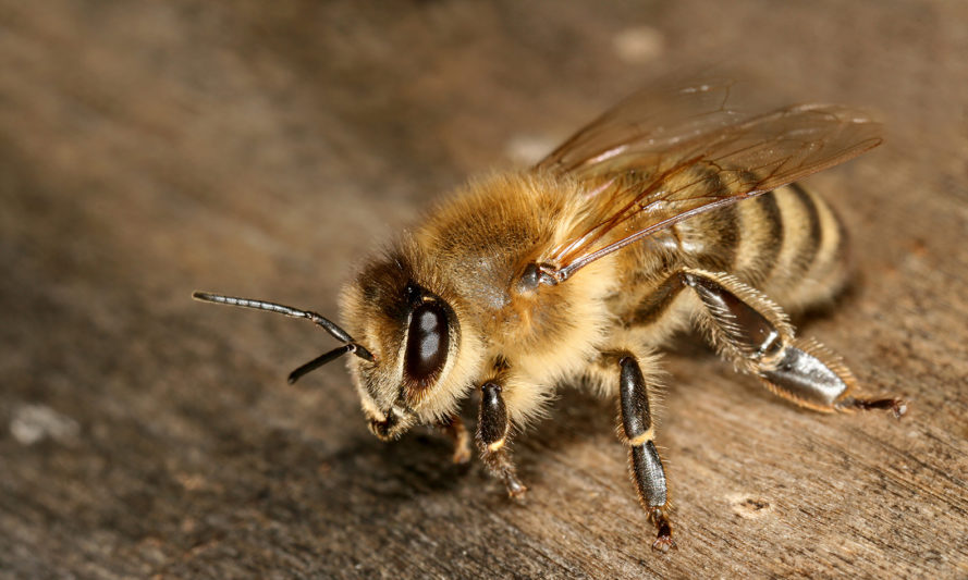 Honeybee, honeybees, bees, bee, drones, insects, insecticide, research, scientific research, neonicotinoids, neonicotinoid insecticides