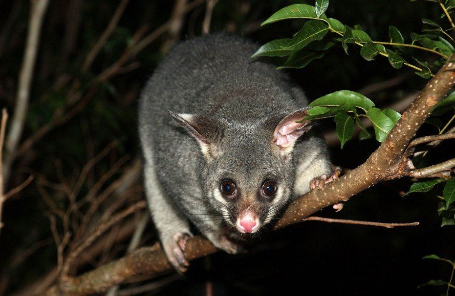 New Zealand, predators, introduced species, introduced predators, stoats, stoat, possums, possum, rats, rat, conservation, New Zealand government