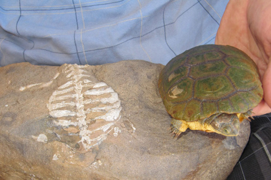 turtles, south africa, fossils, biology, paleontology, research, denver museum of nature and science, reptiles, lizards, Eunotosaurus africanus