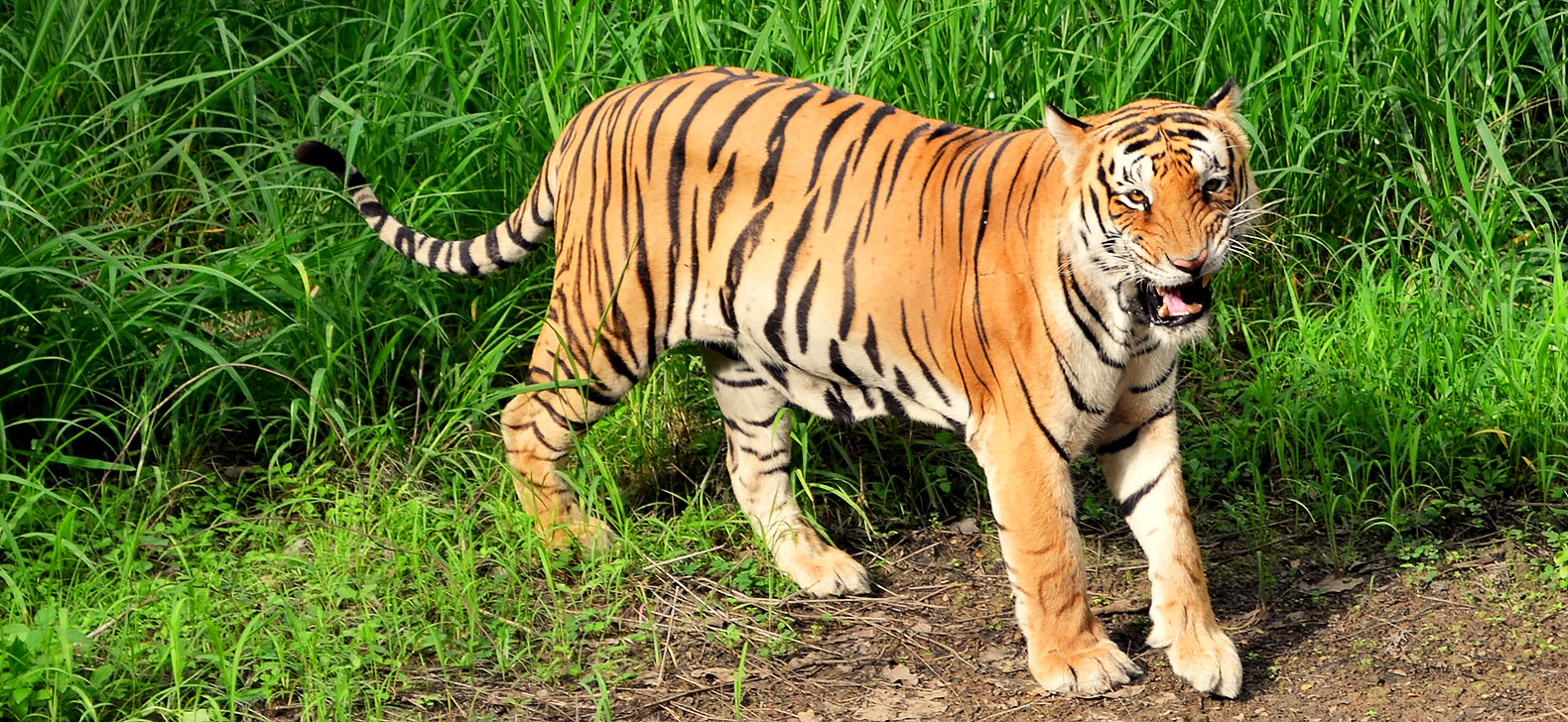 endangered species bengal tiger Bengal tiger bengali: species: panthera tigris: in 2010 it became endangered by iucn there are less than 2,500 of these tigers.