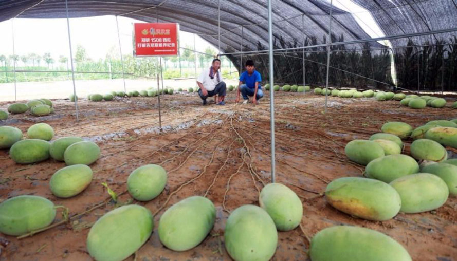 watermelon record, watermelon world record, watermelon guinness world record, Zhengzhou Research Seedling Technology Co., tianlong 1508, watermelon fruit, 131 watermelon