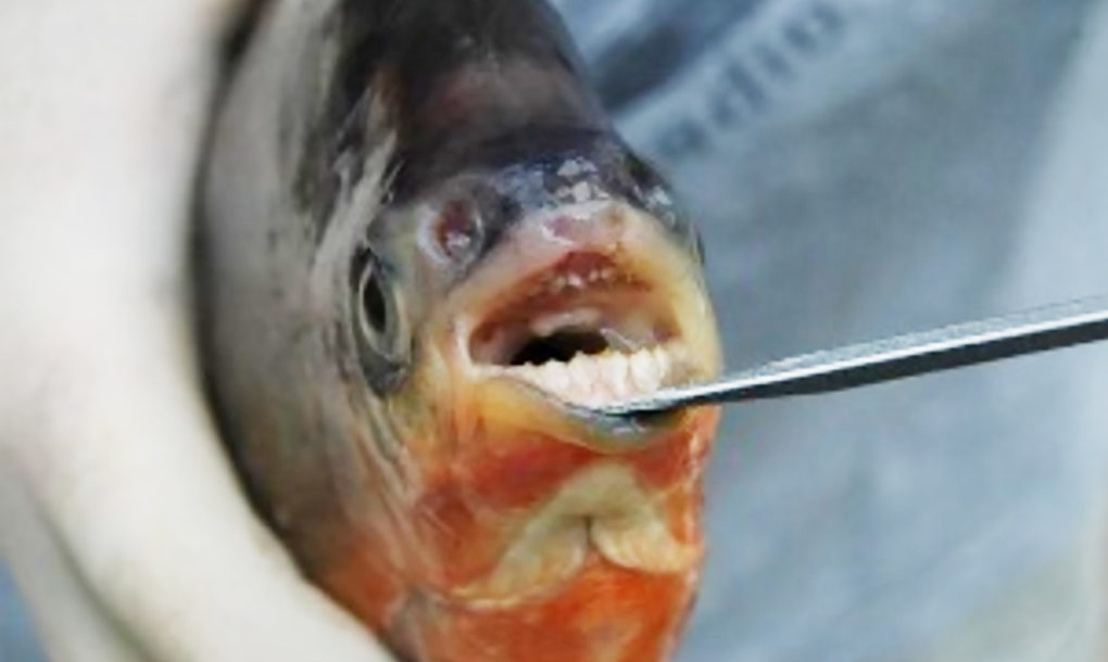 Fish with human like teeth spotted in michigan lakes for What do you call a vegetarian that eats fish