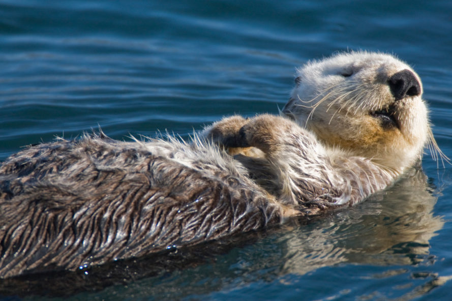 southern sea otters killed, southern sea otter reward, california sea otter killed, southern sea otter protected species, The U.S. Fish and Wildlife Service sea otter reward, California Department of Fish and Wildlife sea otter reward