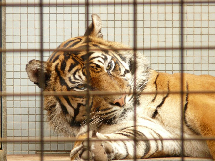 Tigers, tiger, Xiongsen Bear and Tiger Mountain Village, China, Asia, tiger farms, tiger breeding, illegal tiger trafficking, World Wildlife Fund, tiger wine, tiger captivity, animal abuse, animals