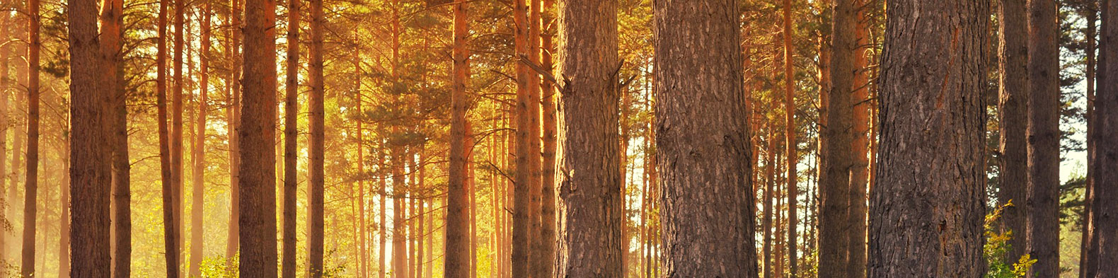 """Mother trees recognize kin and send them """"messages of wisdom"""""""