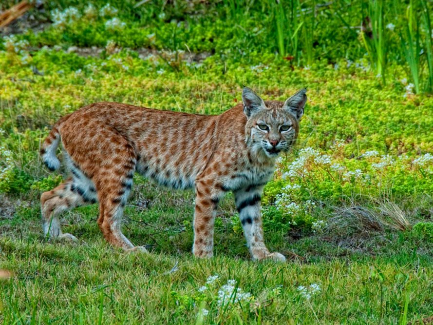 mountain lions, cougars, eastern cougars, wildlife, extinct species, extinct subspecies, tennessee, kentucky, virgina, blue ridge mountains, fish and wildlife service
