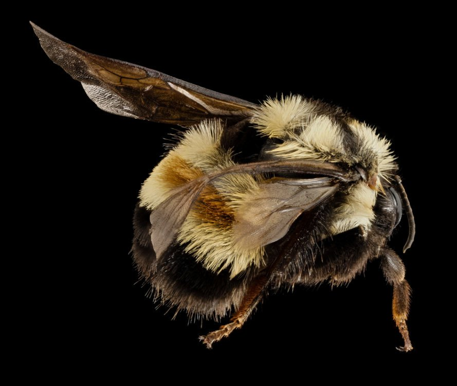 bumble bees, rusty patched bumble bee, bumble bees endangered, endangered species act, endangered bee species, us bee species, bee extinction, bee protections, bee populations