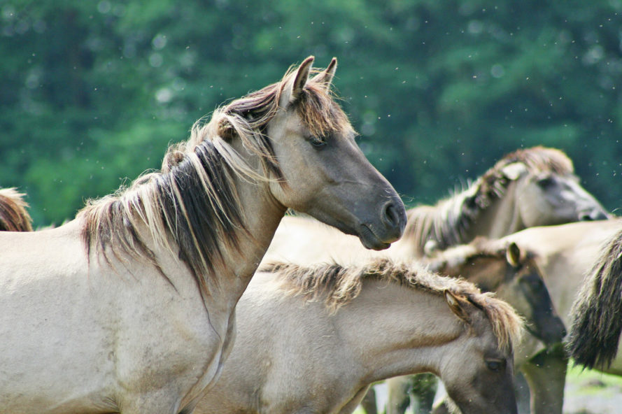 wild horses, wild horses euthanasia, bureau of land management, National Wild Horse and Burro Advisory Board, the cloud foundation, ginger kathrens, cattle grazing, rangelands, horse removal, horse round-up, horse euthanasia