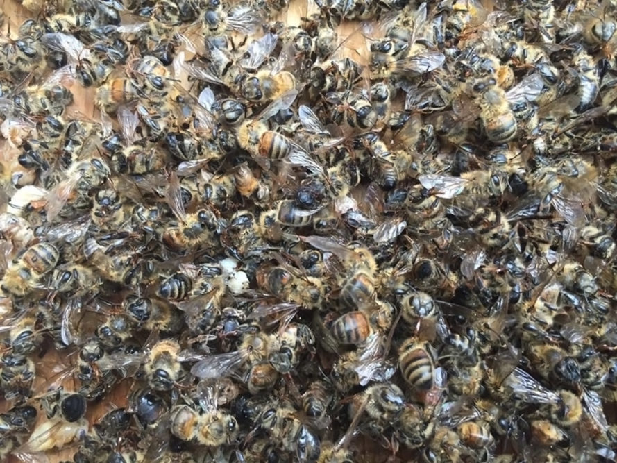 south carolina, bee deaths, bees, honeybees, pesticides, pesticide spraying, zika, mosquitos, mosquito control, dorchester county, mass bee death
