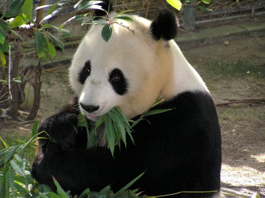 "IUCN redlist, endangered species, giant pandas, giant pandas no longer endangered, vulnerable species, ""vulnerable"" IUCN red list, panda conservation, pandas china"