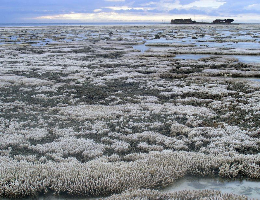 Great Barrier Reef, coral bleaching, bleaching, coral die-off, reef dying, marine ecosystems, marine animals, australia, ARC Center of Excellence for Coral Reef Studies, james cook university, queensland