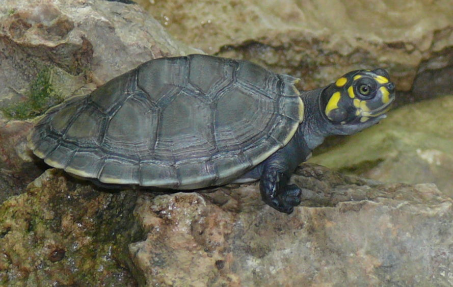 peru, National Service of Protected Natural Areas by the State, SERNANP, yellow-spotted Amazon River turtle, baby turtles, peru releases baby turtles, wildlife conservation, threatened species, endangered species, cites, wildlife protection