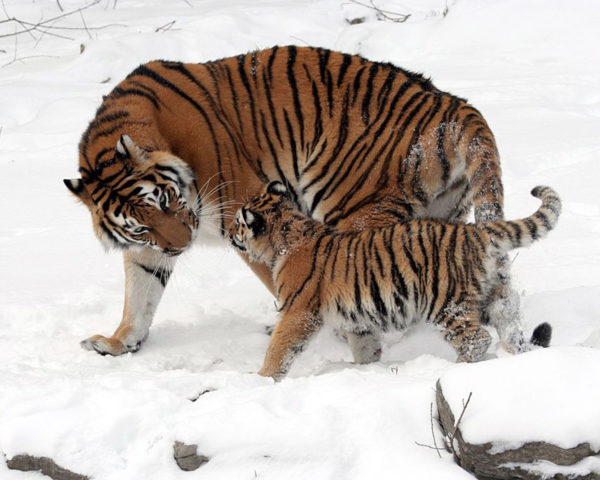 tigers, wild tigers, conservation, southeast asia, asia, infrastructure development, construction, roads, railways, wwf, research, endangered species, threatened species