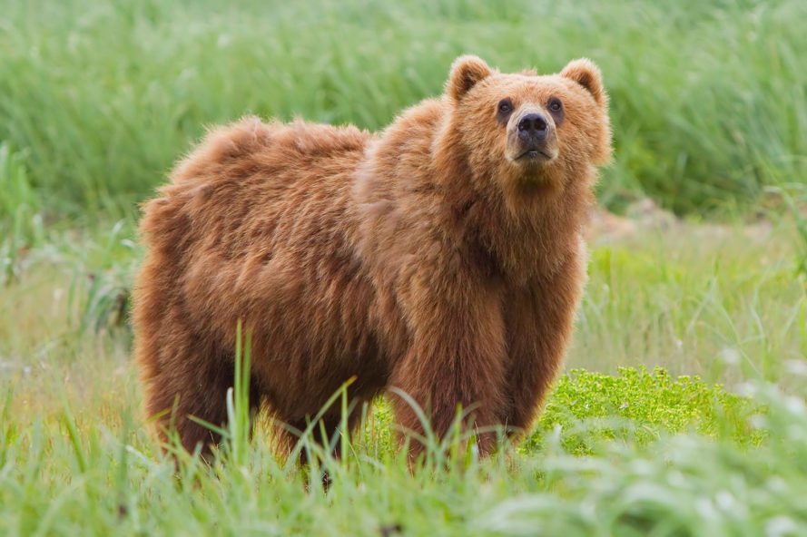 Russia, Siberia, bear, bears, brown bear, brown bears, animal, animals, animal cruelty, investigation, criminal investigation, inquiry, animal treatment