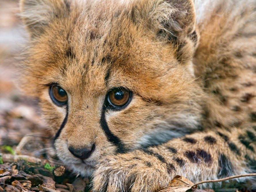 Cheetah, cheetahs, cheetah population, cheetah populations, vulnerable, vulnerable species, endangered, endangered species, animal, animals, endangered animals, extinction, conservation