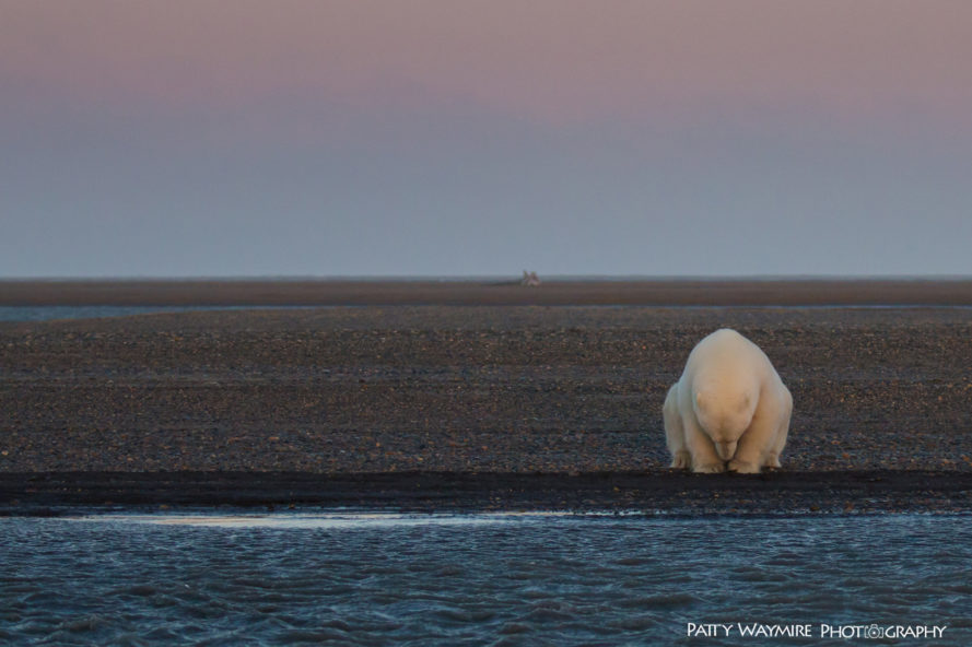 polar bear, polar bears, arctic, alaska, barter island, patty waymire, photography, photographer, climate change, habitat loss, global warming, endangered species