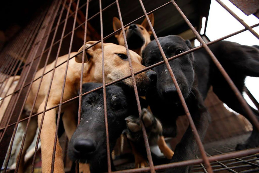 Humane Society International, dog, dogs, dog meat, dog meat farm, meat farm, dog meat factory, meat factory, meat, human consumption, animal, animals, animal cruelty, animal rescue, South Korea, animal adoption