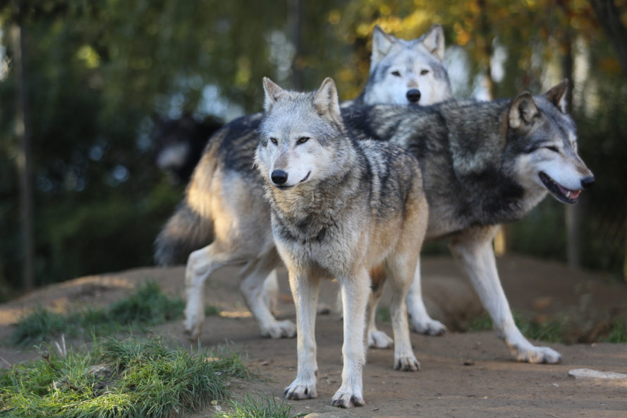 Wolf, wolves, gray wolf, gray wolves, animal, animals, animal conservation, conservation, Endangered Species Act, Donald Trump, Trump, Trump presidency, Congress, Republican, Republicans, Republican Congress, habitat
