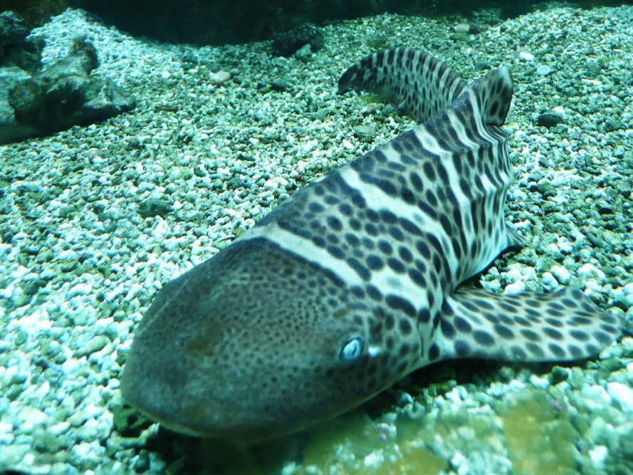 Zebra shark, zebra sharks, shark, sharks, Stegostoma fasciatum, aquarium, aquariums, fish, science, reproduction, asexual, asexual reproduction, Australia