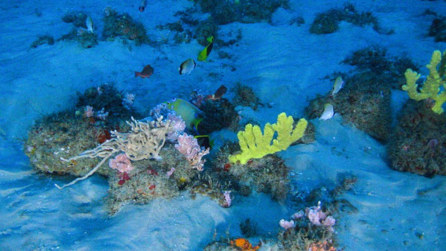 brazilian coral reef, coral reefs, endangered, oil drilling, greenpeace