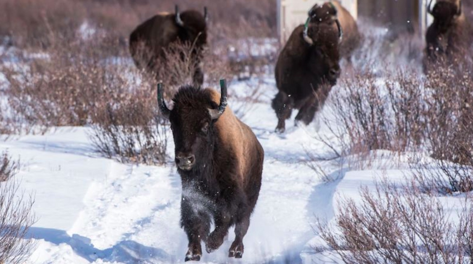 Wild bison return to Canada's Banff National Park for the first time in 140 years