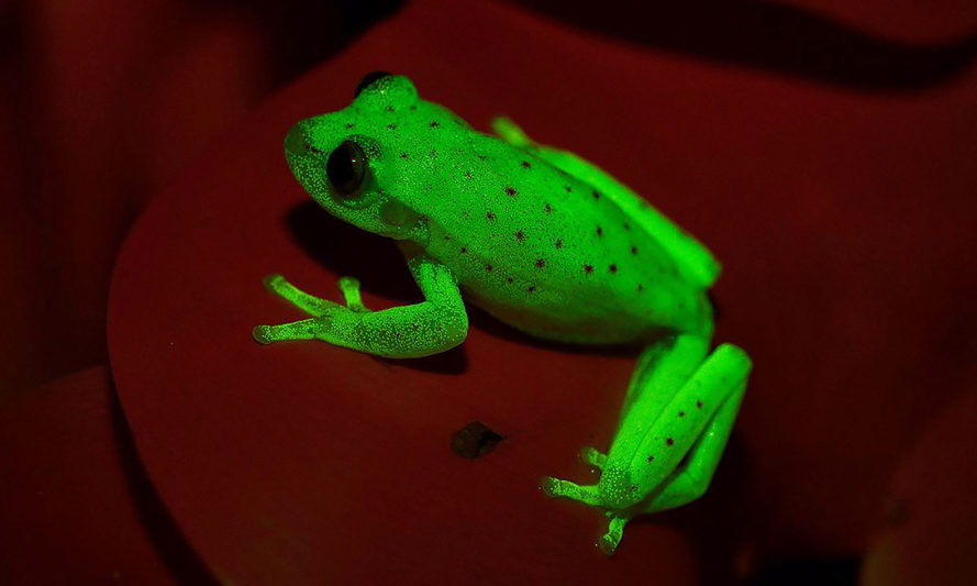 Bernardino Rivadavia Natural Sciences Museum, fluorescent frog, fluorescent frogs, fluorescent tree frog, fluorescent tree frogs, frog, frogs, tree frog, tree frogs, fluorescent, fluorescence, amphibian, amphibians, animal, animals, South America