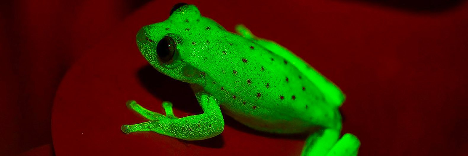 First fluorescent frog in the world found in South America ...