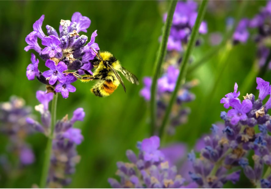 bee, declining bee population, endangered species, pesticides