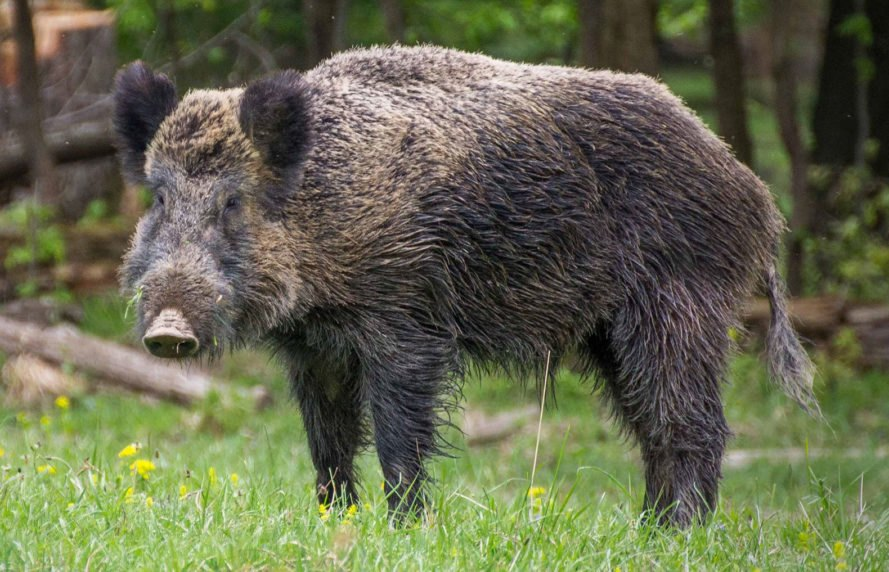 radiation, Fukushima, nuclear power plants, wild boars, boars, pigs, Japan
