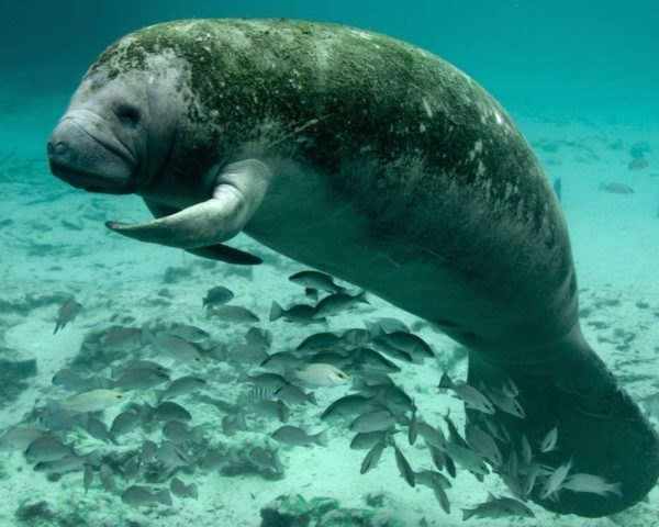 manatee, endangered species list, downlisting species, manatee populations