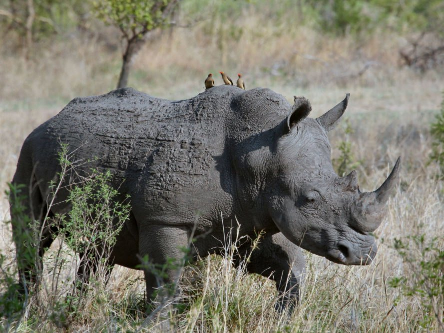wildlife conservation, rhinos, white rhinos, endangered animals, Tinder