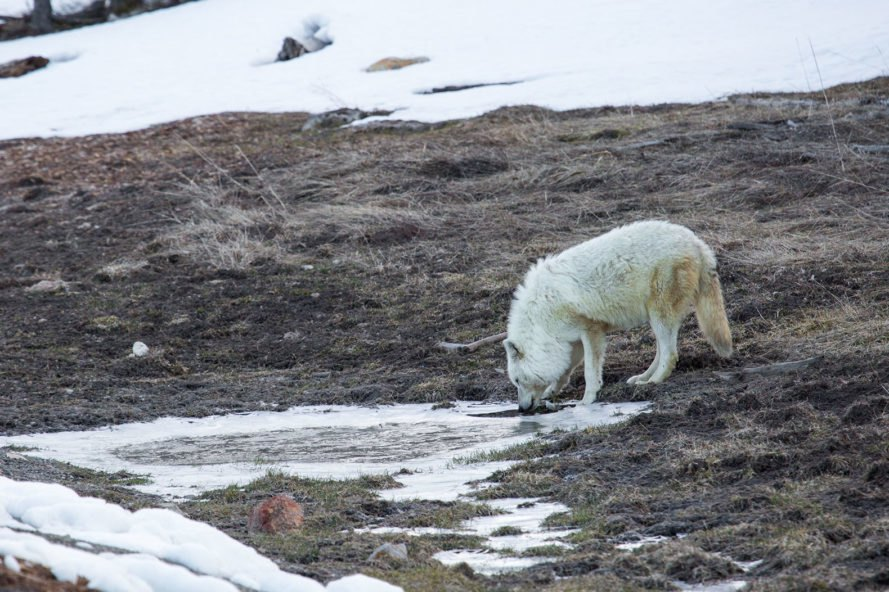 Yellowstone, Yellowstone National Park, national park, park, parks, wildlife, animal, animals, National Park Service, wolf, wolves, white wolf, white wolves, alpha female
