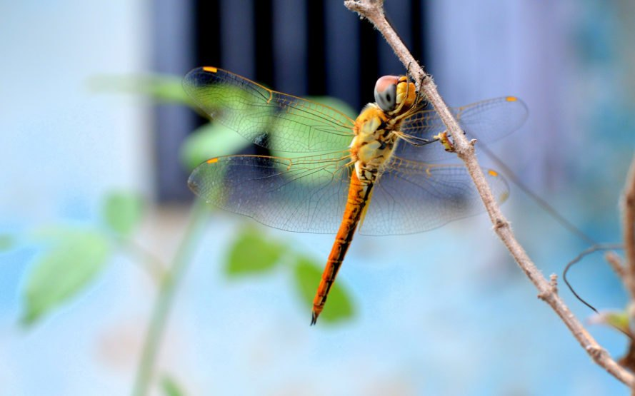 Dragonfly, dragonflies, insect, insects, wing, wings, insect wings, dragonfly wings, nature, bio-inspired, bio-inspiration, biomimicry, wind, wind turbine, wind turbines, wind power, wind energy, energy, renewable energy