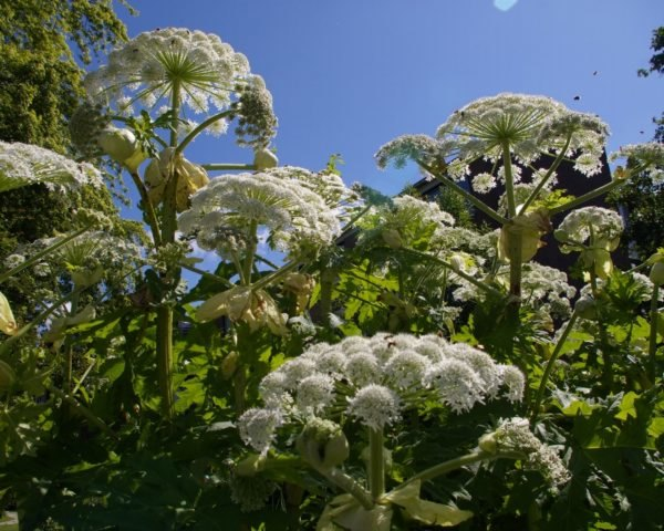giant hogweed, toxic plants, invasive species, pollinators