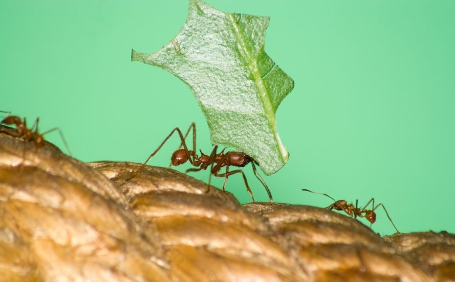 superorganism, leafcutter ants, nature, insects, photos
