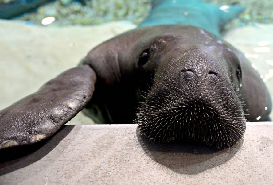 Manatee, Snooty, dead, 69, South Florida Museum