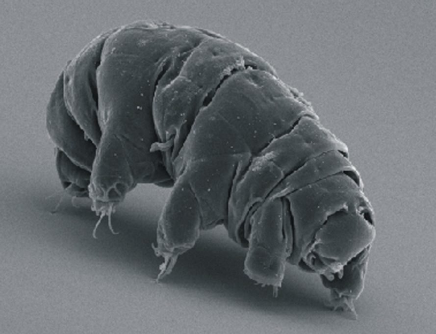tardigrade, water bear, durable, resilient, Earth, asteroid, Oxford University, supernova, survival,